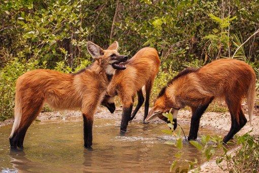 Filhotes de lobo-guará são soltos na natureza, no Oeste Baiano | Bahia em tempo real